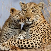 leopard-and-cub-showing-affection-care-of-the-wildlife-1600x900