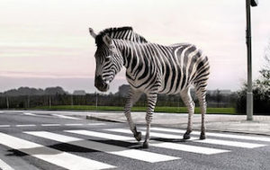 zebra-crossing-l